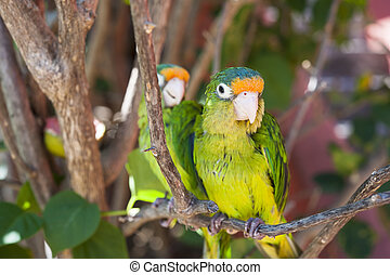 Two Parakeets in a Tree