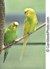 Two Parakeets on a Tree Branch with their Eyes Closed