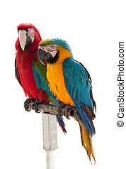 Two parrots isolated on a white background