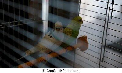 Two parrots telling secrets