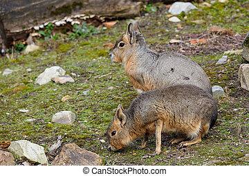 Two Patagonian Mara, Dolichotis patagonum. Wild life animal.