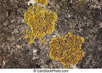 Two patches of yellow crustose lichen - Closeup of two...