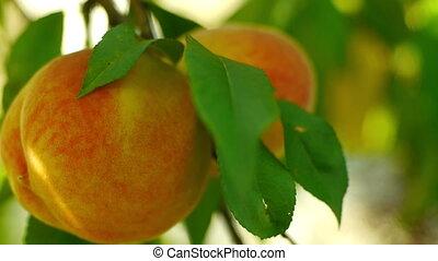 Two peaches on tree closeup