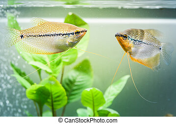 Two Pearl gourami Trichopodus leerii freshwater aquarium fish in fish tank. Aquaria concept