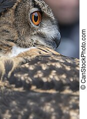 two pearls of eyes of the real owl