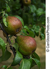 Two Pears Hanging from a Branch on a Pear Tree