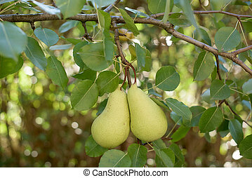Two pears on a branch