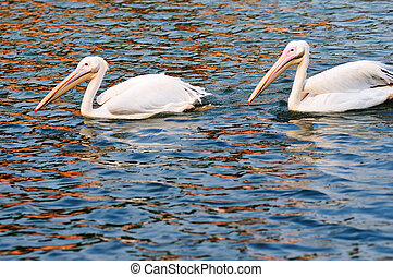 Two pelican birds swimming