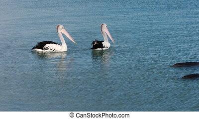 Two pelican on ocean shot