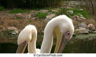 Two pelican resting close up
