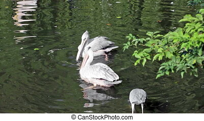 Two pelicans and gray heron catch fish in the lake