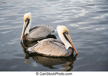 Two pelicans - Two brown pelicans swimming in the river,...