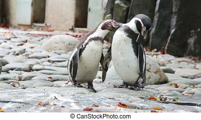 two penguins clean feathers, Close up
