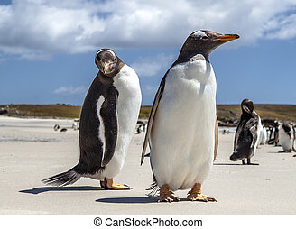 Two Penguins close-up in the Falkland Islands-2