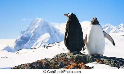 Two penguins on the rock. 4k, 25fps