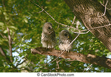 Two Perching Barred Owlets