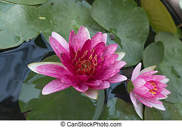 Two Perfect pink lilly lotus leaf background.