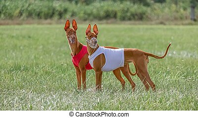 Two pharaoh hound dogs in red and white shirts running in the field on lure coursing competition