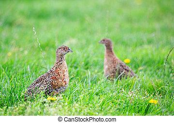 Two pheasant female bird standing in grassland in spring ...