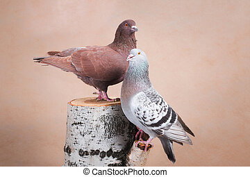 Two pigeons, brown and blue, pose beautifully on the stump