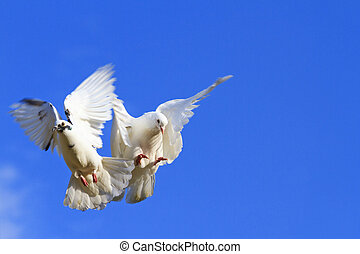 two pigeons flying in the blue sky