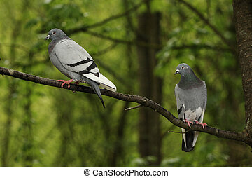 Two pigeons in a tree