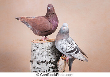 Two pigeons on the birch stump, one above the other