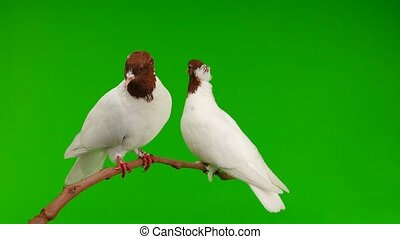two pigeons sit on a branch and peel a green screen