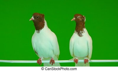 two pigeons sit on a branch of a green screen