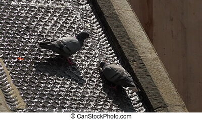 Two pigeons standing in water runoff - Medium shot of two...