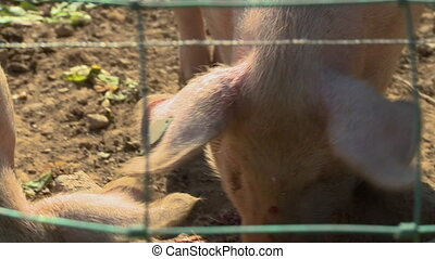 Two Pigs Behind Fencing - Handheld, close up shot of two...