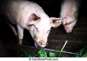 two pigs eating grass at local farm in the countryside