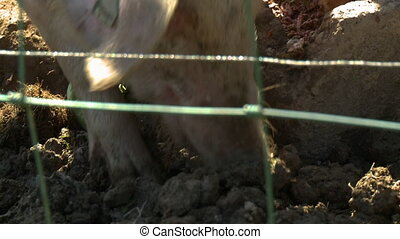 Two Pigs Eating - Handheld, close up shot of two pigs...