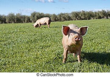 Two pigs grazing in field. Picture taken in Ciudad Real ...