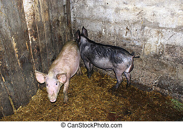two pigs in the cattle-shed on the farm