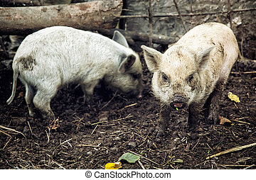 Two pigs in the farm