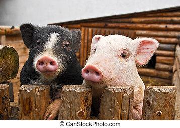 two pigs in zoo garden