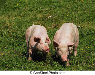 Two pigs on a mountain pasture in summer