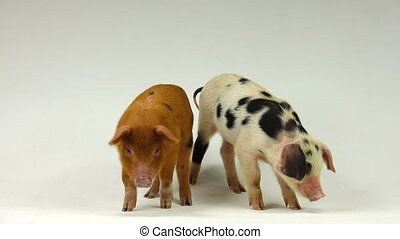 pig - two pigs on a white background. sound