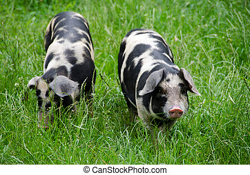 Two pigs raised on an organic farm searching for food in the grass
