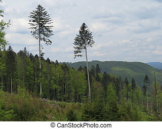 Two pine trees in a forest