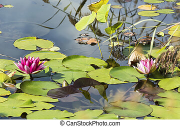 Two pink Lotus flower blooming above the water surface