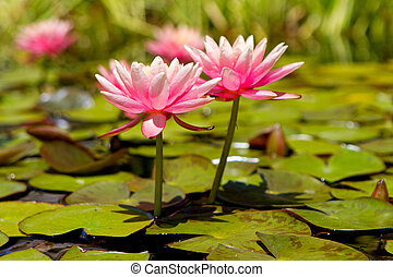 Two Pink Lotus Flowers in Lily Pond