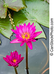 Two Pink lotus in the pool