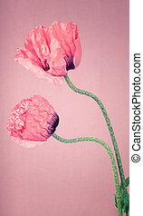 Two pink Poppy flowers on a pinkish background