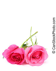 Two pink roses on white background with space for text