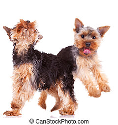 two playful yorkshire puppy dogs
