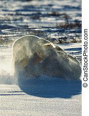 Two polar bears fighting on snow