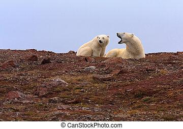 Two Polar Bears on Rocky Hill - Two polar bears on rocky...