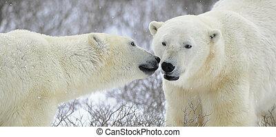 Two polar bears.